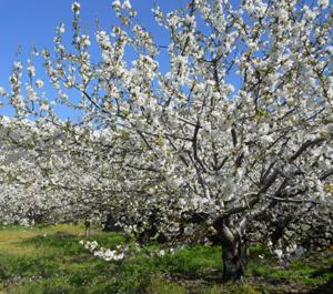 Cerezos en Valle del Jerte